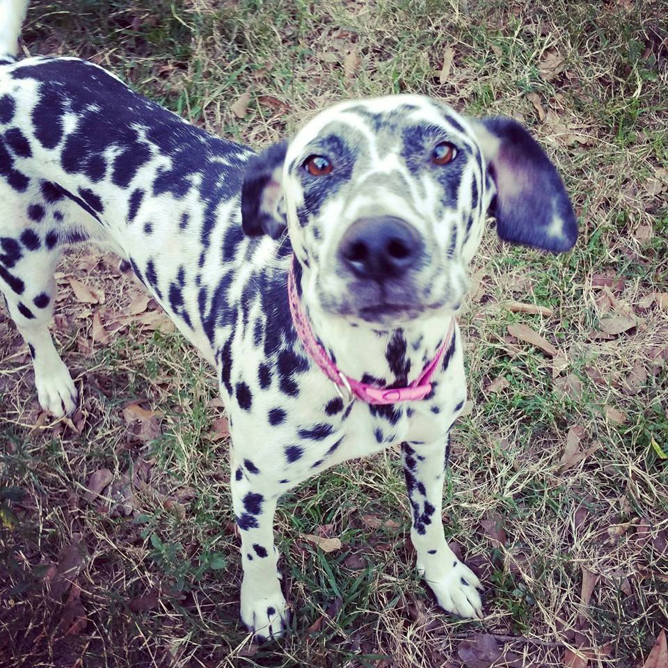 Hailey – Dalmatian